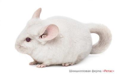 Шиншилла Бело-розовая
