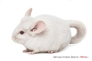 Белая шиншилла